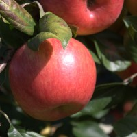 Order Honeycrisp Apples